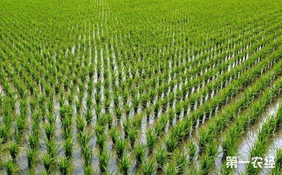 安徽省推进农业结构调整 将调减水稻种植面积50万亩