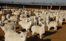 云南昌宁:做好畜牧科技推广工作 促进畜牧产业提质增效