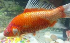 草金鱼染上疾病怎么办?草金鱼常见疾病的病症与防治