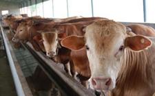 鲁西黄牛种牛养殖怎么管理?鲁西黄牛种牛的饲养管理要点