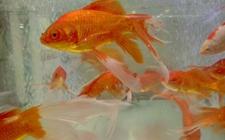 草金鱼怎么养才好?草金鱼的养殖条件和饲养管理方法