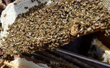 中华蜜蜂养殖怎么过箱?蜜蜂养殖的过箱准备与方法