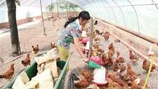 <b>熊爱民:养鸡八年从外行到养鸡女状元</b>
