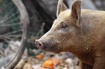 猪场使用麦麸有什么需要注意的?猪场使用麦麸的注意事项