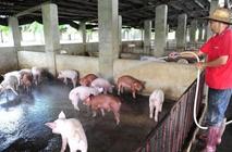 生态养猪场怎么进行建设?生态养猪养殖前景如何?