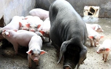 仔猪断奶期喂湿料还是干料好?