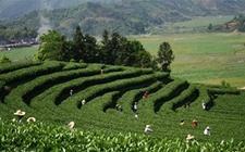 贵州思南县:生态茶产业异军突起