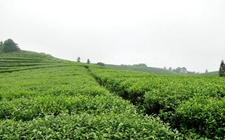 推广茶文化打造茶品牌 让纳溪茶叶走上国际化