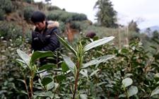 <b>贵州省凤冈县:低温气象保险为茶叶产业护航</b>