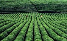 安徽黄山:获评茶叶项目全国快递服务现代农业示范基地