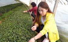 气温飙升新茶已露尖尖角 头茬崂山茶开始采摘