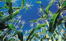 农科院:完善植物避荫反应调控机理 为耐密植作物品种培育奠定基础