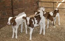 犊牛大肠杆菌病怎么防治?犊牛大肠杆菌病的预防措施与治疗方法