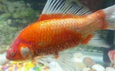 金鱼染上疾病怎么办?金鱼常见疾病的病症与防治