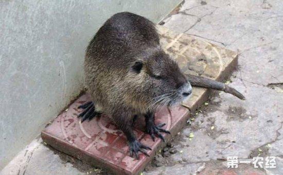 海狸鼠怎么养?海狸鼠的养殖要点与冬夏管理