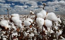 观赏棉花前景好 种植观赏棉花奔小康