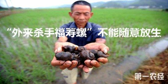 福寿螺对农业生产危害大 专家:不要随意饲养或放生