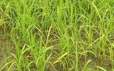 水稻秧苗发黄是怎么回事?水稻秧苗发黄的原因介绍