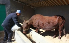 牛为什么会尿素中毒?牛尿素中毒的原因和防治方法