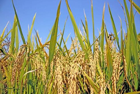 四川容县黄万书:养猪种生态水稻效益高