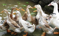 蛋鸭为什么不产蛋了?影响蛋鸭产蛋的因素有哪些?