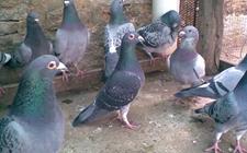 鸽子的年龄如何识别?怎么分辨鸽子的年龄?
