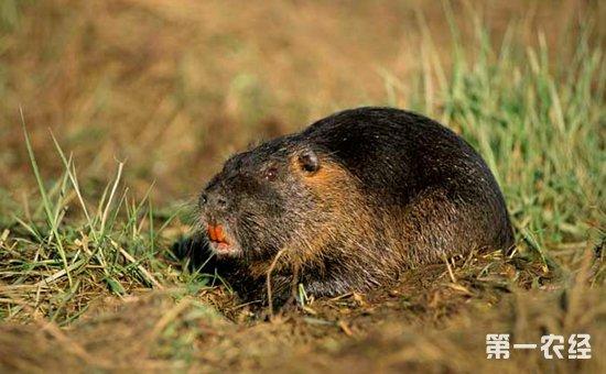 海狸鼠染上疾病怎么办?海狸鼠常见疾病的病症与防治