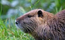 <b>海狸鼠染上疾病怎么办?海狸鼠常见疾病的病症与防治</b>