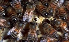 该如何防治蜜蜂白垩病?蜜蜂白垩病的综合防治措施