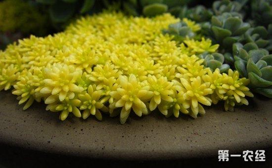 黄金万年草怎么养才好?黄金万年草的繁殖要点和养殖方法