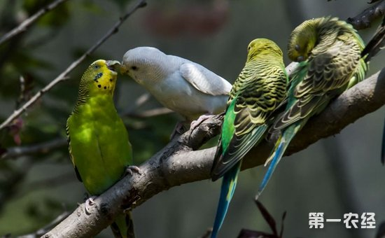 虎皮鹦鹉吃什么食物?虎皮鹦鹉不同阶段的饲料选择