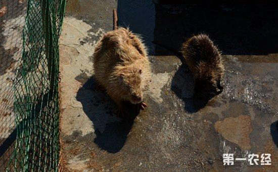 如何养殖海狸鼠?海狸鼠的生活习性和养殖方式