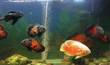 地图鱼怎么养才好?地图鱼的繁殖要点和养殖方法