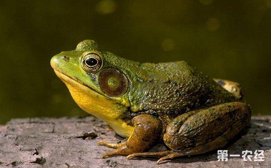 美国青蛙吃什么食物?美国青蛙的饲料配制与投喂方法介绍