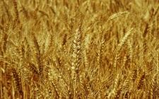 日本成为全球第六大小麦进口国 招标购入多国食用等级小麦