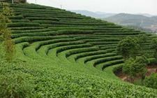 <b>【人大发声】人大代表柳红:提升茶产业国际竞争力</b>