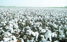 <b>2018年河北唐山或将减少棉花种植面积</b>