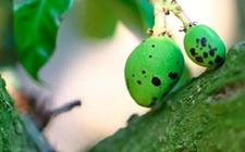 <b>芒果染上病害怎么办?芒果常见病害的防治方法</b>