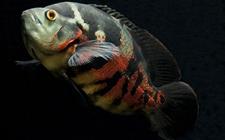 <b>防治地图鱼疾病该注意哪些事项?地图鱼疾病防治过程中的宜忌介绍</b>