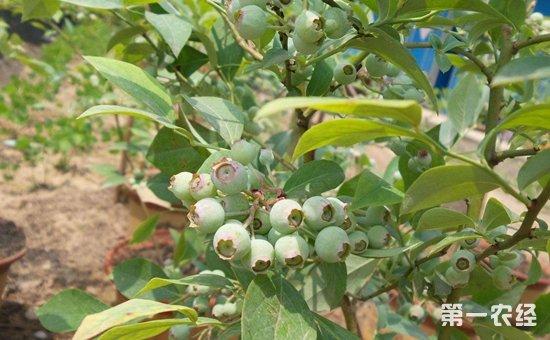 盆栽蓝莓怎么种植才好?盆栽蓝莓的种植管理要点