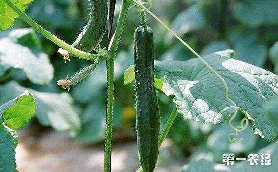 黄瓜种植该如何嫁接?黄瓜的嫁接方法和注意事项介绍