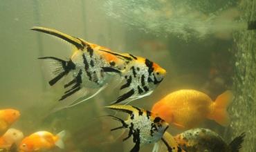 如何养殖神仙鱼?神仙鱼的产卵繁殖和养殖方法介绍