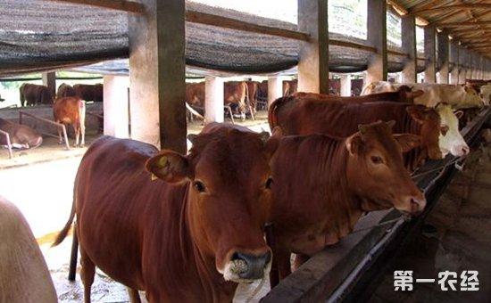 肉牛吃什么饲料?不同生长期肉牛的饲料配制方法