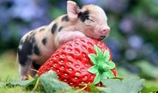 常见的宠物猪的品种及图片