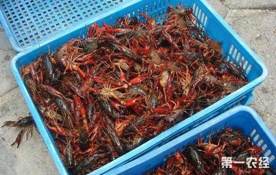 小龙虾养殖