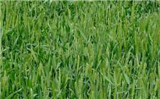 2018全国小麦当前病虫害发生动态