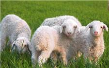 新吉细毛羊养殖注意事项