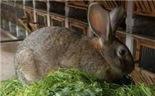 灰毛兔养殖利润有多少 仔细一算吓一跳