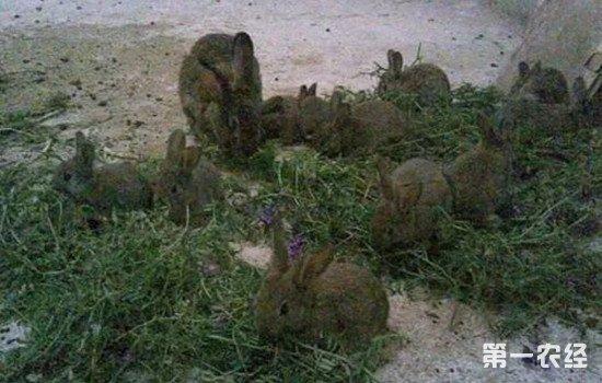 灰毛兔养殖利润