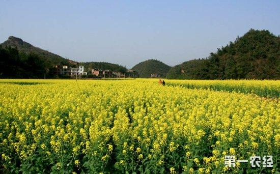 江西萍乡油菜花陆续进入盛花期